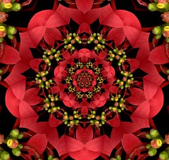 Poinsettia (Tis the season...) (Bill Brown) Tags: poinsettia kaleidoscope scanned kaleidoscopes kaleidoscopesonly