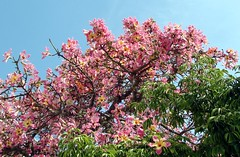 Kapok tree branches, some with flowers, some w...