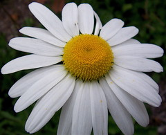 (mightyquinninwky) Tags: school autumn white flower macro green fall yellow campus geotagged petals dof bokeh landscaping award indiana southernindiana invite usi top20flowers universityofsouthernindiana evansvilleindiana diamondclassphotographer flickrdiamond macrophotosnolimits excellentphotographerawards top20white top20everlasting vandenburghcountyindiana secretlifeofwhite goldstaraward excellentsflowers usiscampus geo:lat=37963231 geo:lon=87678322 bestofformyspacestation