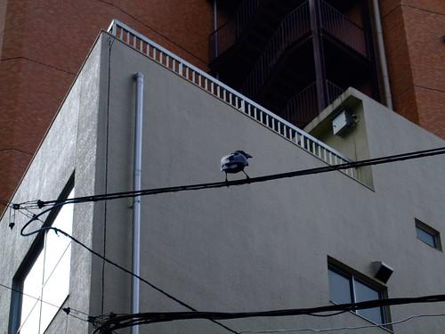 街頭常見的烏鴉