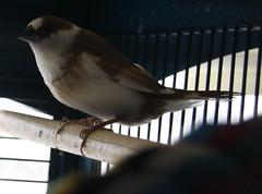 "Woody Says, ""Hi!"" (Paula Bird Parent) Tags: bird birds finch finches society petbird smallbirds petbirds societyfinch bengalese featheryfriday bengalesefinch bengalesefinches societyfinches"