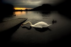 Sun setting swan loch.... (Nicolas Valentin) Tags: reflection bird nature water scotland swan loch lochlomond avian balmaha artlibre