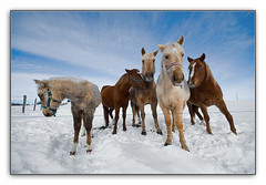 The Cool Gang ! (Julien Robitaille Photographie) Tags: winter horses canada cheval bravo quebec perspective atmosphere charlevoix chevaux stlawrenceriver blueribbonwinner supershot magicdonkey abigfave anawesomeshot aplusphoto superbmasterpiece goldenphotographer diamondclassphotographer megashot bratanesque excellentphotographerawards theperfectphotographer thecoolgang icecanoeracing julienrobitaille ilseauxcoudres