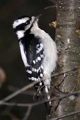 Downy Woodpecker (female) (TheMuddyOne) Tags: toronto bird nature female downywoodpecker bokeh branches alpha a100 woodywoodpecker pecking