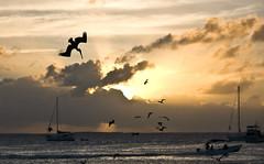 En picado / Nose-dive (jommisPics) Tags: sunset bird venezuela pelican nosedive