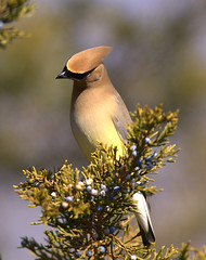 Cedar Waxwing (William  Dalton) Tags: bird nature birds waxwing cedarwaxwing bombycillacedrorum avianexcellence bombycilacedrorum