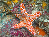 Here is the Australian Biscuit Star attached to a coral reef.