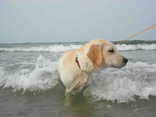 yellow labrador retriever - Tobby