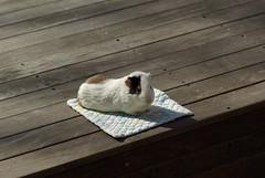 モルモット / Guinea pig