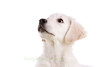 Adorable puppy (Simone's Kitchen) Tags: dog dogs animal animals goldenretriever puppy young canine lookingup whitebackground pup isolated purebred purebreddog