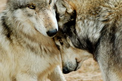 The love of brothers (tammyjq41) Tags: bravo wolves tjs wolfpark tjd animalkingdomelite mywinners impressedbeauty