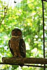owl (pixelplated) Tags: philippines palawan canonef24105mmf4lisusm palawanwildliferescueandconservationcenter