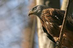 (mad_airbrush) Tags: bird nature animals eos wildlife n 1d mk2 wildpark moritzburg mark2 1dmarkiin wildfütterung wildfütterungmoritzburg
