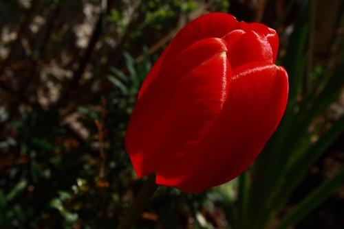 Vivid Red Tulip