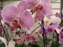 Flowers (kimkeough) Tags: pink flowers ikea purple dsch3 sonydsch3