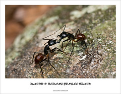 MJT01 (kuantoh) Tags: macro trek island getaway insects malaysia closeups pulauredang redangislandjungle