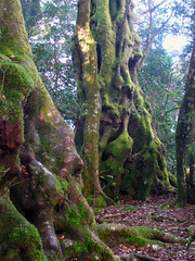 antarctic beeches - nothofagus moorei... (mum49) Tags: old moss australia queensland forestfloor veryold timeless gnarled goldcoast tropicalrainforest hinterland nothofagus mtwarning nothofagaceae springbrooknationalpark antarcticbeech antarcticbeeches nothofagusmoorei bestofaustra
