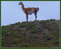 616.- El vigilante (SILVIA O.G.) Tags: patagonia naturaleza magallanes parquenacional guanaco mywinners onlythebestare regiondemagallanes silviaog
