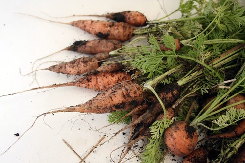carrots by molly dunham.