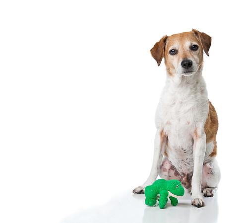 フリー画像| 動物写真| 哺乳類| イヌ科| 犬/イヌ| ジャック・ラッセル・テリア|      フリー素材|