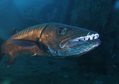 Barracuda no Bite diving Tulamben Bali