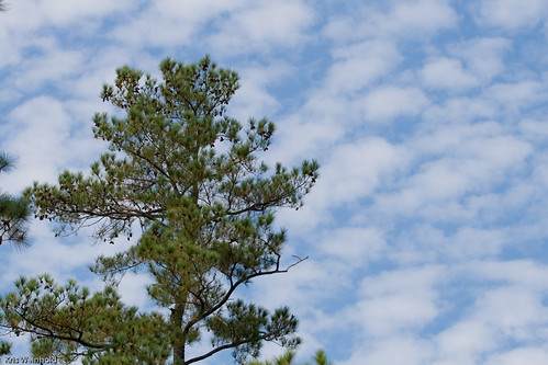 Jamestown Island Pine
