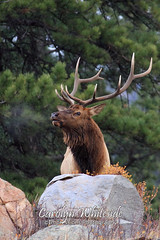 King of the Mountain Elk