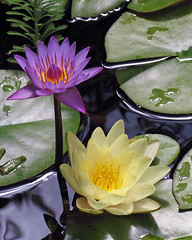 Water Lilies (njchow82) Tags: two plant canada flower calgary nature yellow zoo purple pair lilies waterlilies alberta butterflyhouse potofgold blueribbonwinner beautifulexpression citrit incrediblenature goldstaraward incrediblenatureadminschoice flickrlovers simplythebest~flowers naturescreations njchow82 mmmilikeit