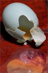 You're breakin' my balls Chuck (teejaybee) Tags: bird egg shell southpark fetus pest yolk feral introduced ericcartman indianmyna