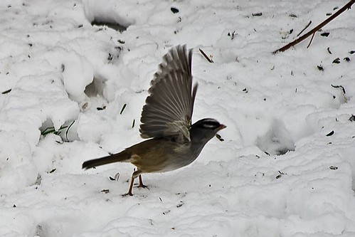 White crowned sparrow, Takeoff!
