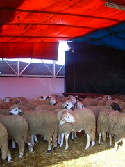 Vente de moutons pour l'Ad (Corinne Bguin) Tags: sheep supermarket casablanca moutons supermarch adelkebir