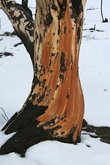 Body (MaureenShaughnessy) Tags: wood trees winter snow forest montana seasons branches helena burned wildfire treetrunks comingback springmeadowlake earthisalive whatwillcome treebodies theyarelikeus notbarrennotsad