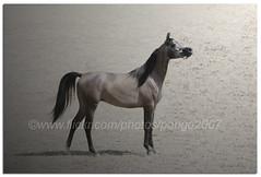 In the spot light (pongo 2007) Tags: horse caballo cheval europe arabian cavallo cavalo pferd equus paard 2yearold ceffyl yearofthehorse pongo2007