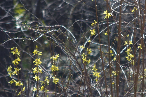 Wedding Garden Forsythia