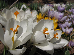 CROCUS IN BLOOM!