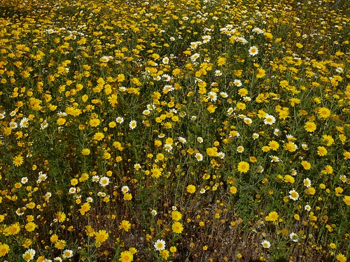 yellow_flowers-1140194