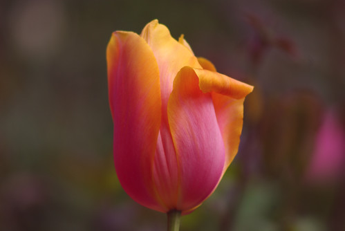 a tulip from Istanbul Tulip Festival, I ve used Pentax K10D