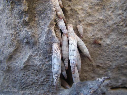 Rock Snails