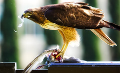 Bird eat Bird (etravus) Tags: life red bird nature animal animals death dino dinosaur hawk wildlife tail attack feathers feather evolution killer creature birdofprey buteojamaicensis redtailhawk aplus preditor aplusphoto