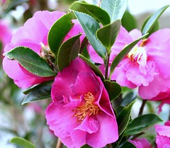 Camlias pink (tinica50) Tags: pink flowers flores camelia laflormasbella mywinners