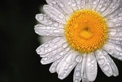 Today it rained (Erasmus T) Tags: white flower water rain yellow daisy raindrops oxeye 1505 leucanthemumvulgare mywinners