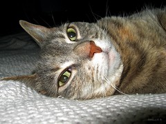 look into my eyes...you cannot resist (ziggywiggy1(SHELLIE B.)) Tags: catsmeawww catnipaddicts allmemorieswelcome envyofflickr theloveshack softballoffluff showyourcattotheworld pigaward paws ourcatcompanions kissablekat kissablekats kissablekitties greycats gattorockello furryfriends fur crazycatpeople catssmalltobig cats amazingshot abigfave velvetpaws prettykitty
