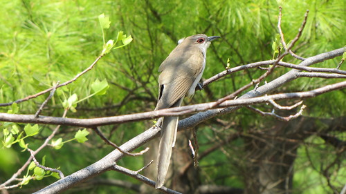 Black-billed cuckoo by ricmcarthur