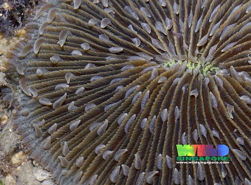 Mushroom coral (Family Fungiidae)