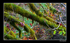 Out on a limb (Bonell Photography (dasbull)) Tags: light usa color colour green art texture love tourism nature beautiful beauty contrast photoshop work dark real fun lumix us photo washington moss amazing cool fantastic artwork flickr niceshot shot angle natural northwest image awesome feel great joy perspective picture atmosphere location best sharp panasonic spanish aberdeen swamp frame passion pacificnorthwest pro northamerica wa washingtonstate pnw hardwork tone borders authentic exciting generic 2007 graysharbor fz50 amature joyfull twinharbors hoquiam dmcfz50 panasonicdmcfz50 dasbull ronbonell