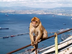 Barbary Ape of Gibraltar (saxonfenken) Tags: motif animal monkey explore 101 ape thumbsup gibraltar soe sb barbaryapes e500 bigmomma macacasylvanus gamewinner outstandingshots platinumphoto anawesomeshot aplusphoto ultimateshot top20travel flickrplatinum superhearts favescontestwinner goldstaraward algersirisbay yourock2nd storybookwinner pregamesweepwinner storybookttwwinner favescontestrunnerup 101animal