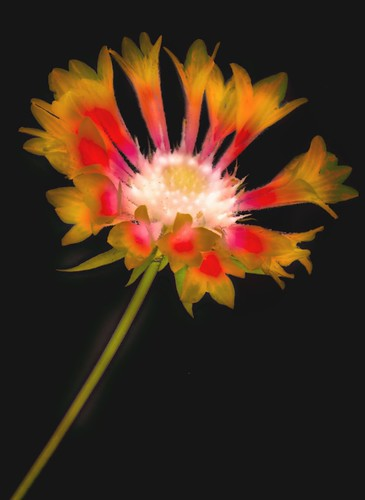 Gaillardia Photogram