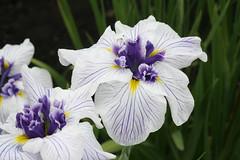 Irises (Greg Miles) Tags: iris japan hokkaido naturesfinest platinumphoto diamondclassphotographer