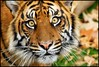 Curious Cat (Nikographer [Jon]) Tags: animal animals zoo washingtondc smithsonian dc washington nikon december dec bigcat nationalzoo d200 fonz washdc 2007 natlzoo maharani nikographer usnationalzoo sumatrantigercubs 20071202d200115681