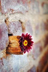 wall flower (Lani Barbitta) Tags: flower field nikon dof explore brickwall 18 lani depth 50mm18 naturesfinest d40 nikond40 lanibarbitta barbitta
